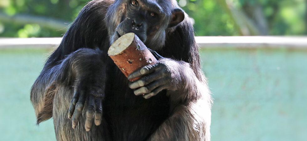 Smutná zpráva z plzeňské zoo: Uhynul šimpanzí samec Bask, otec Bamii a Caily