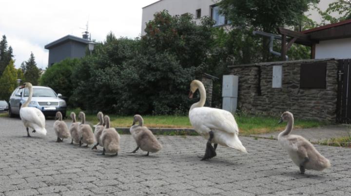 Labutě na cestách. Labutí pár i se sedmi mláďaty se vydal z Boleváku k Berounce